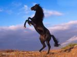 cheval noir cabré 1