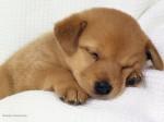 chiot endormi